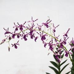 Dendrobium Yap Su-Yin