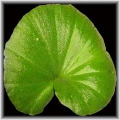 Nervilia plicata Green