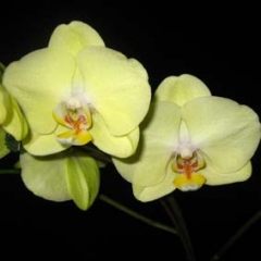 Phalaenopsis I-Hsin Timothy