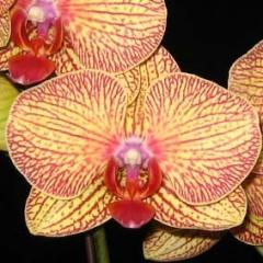 Phalaenopsis KV Charmer