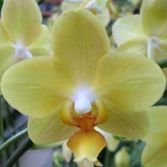 Phalaenopsis Little Emperor