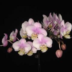 Phalaenopsis Nobbys Amy