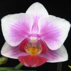 Phalaenopsis Sogo Kitty