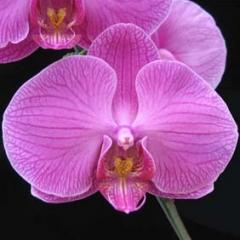 Phalaenopsis Tai Lin Redangel
