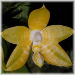 Phalaenopsis amboinensis flava