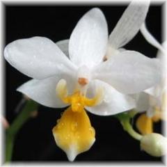 Phalaenopsis equestris var aurea