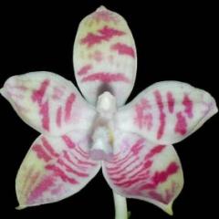 Phalaenopsis violacea x tetrapis