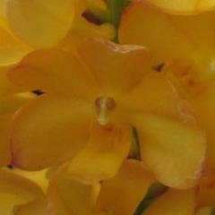 Rhynchocentrum Ladda Gold
